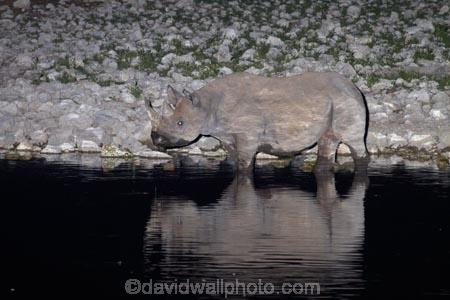 Africa;animal;animals;black-rhinoceros;calm;Diceros-bicornis;drink;drinking;dusk;Etosha-N.P.;Etosha-National-Park;Etosha-NP;evening;floodlighting;floodlit;game-park;game-parks;game-reserve;game-reserves;hook-lipped-rhinoceros;hook_lipped-rhinoceros;mammal;mammals;Namibia;national-park;national-parks;night;night_time;nightfall;Okaukuejo;Okaukuejo-waterhole;placid;quiet;reflected;reflection;reflections;rhino;rhinoceros;rhinoceroses;rhinocerotes;rhinos;serene;smooth;Southern-Africa;still;tranquil;twilight;water;waterhole;waterholes;wildlife;wildlife-park;wildlife-parks;wildlife-reserve;wildlife-reserves