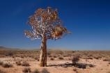 africa;african;aloe;Aloe-dichotoma;aloes;bark;big-large;bird-nest;bird-nests;birds-nest;birds-nests;botany;colonies;colony;communities;community;desert;desert-plant;desert-plants;deserts;dry;flock;giant-nest;Gondwana-Canon-park;group;home;huge;huge-nest;Kokerboom-Tree;Kokerboom-Trees;large-nest;nambia;Namib-Desert;Namibia;namibian;nature;nest;nests;plant;plants;Quiver-Tree;Quiver-Trees;quivers;sociable;sociable-weaver;Sociable-Weavers-Nest;social;socialble-weavers;Southern-Africa;Southern-Namiba;southern-Namibia;tree;trees;vegetation;weaver;weavers