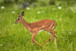 Aepyceros-melampus;Aepyceros-melampus-petersi;Africa;animal;animals;antelope;antelopes;babies;baby;black-faced-impala;black-faced-impalas;black_faced-impala;black_faced-impalas;blackfaced-impala;blackfaced-impalas;Etosha-N.P.;Etosha-National-Park;Etosha-NP;game-park;game-parks;game-reserve;game-reserves;game-viewing;impala;impalas;mammal;mammals;Namibia;national-park;national-parks;Southern-Africa;wildlife;wildlife-park;wildlife-parks;wildlife-reserve;wildlife-reserves;young