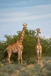Africa;Angolan-giraffe;animal;animals;Etosha-N.P.;Etosha-National-Park;Etosha-NP;game-park;game-parks;game-reserve;game-reserves;Giraffa-camelopardalis;Giraffa-camelopardalis-angolensis;giraffe;giraffes;mammal;mammals;Namibia;national-park;national-parks;Southern-Africa;wildlife;wildlife-park;wildlife-parks;wildlife-reserve;wildlife-reserves