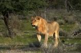 Africa;animal;animals;carnivore;carnivores;cat;cats;Etosha-N.P.;Etosha-National-Park;Etosha-NP;feline;game-park;game-parks;game-reserve;game-reserves;hunter;hunters;lion;lions;mammal;mammals;Namibia;national-park;national-parks;Panthera-leo;predator;predators;Southern-Africa;wildlife;wildlife-park;wildlife-parks;wildlife-reserve;wildlife-reserves