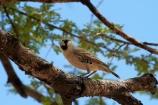 Africa;Animal;animals;avian;bird;bird-spotting;bird-watching;bird_watching;birds;eco-tourism;eco_tourism;ecotourism;Etosha-N.P.;Etosha-National-Park;Etosha-NP;Fauna;game-drive;game-park;game-parks;game-reserve;game-reserves;game-viewing;Namibia;national-park;national-parks;natural;nature;orange-sand;Ornithology;Philetairus-socius;reserve;reserves;Sociable-Weaver;Sociable-Weavers;Social-Weaver;Social-Weavers;Southern-Africa;tree;trees;wild;wilderness;wildlife;wildlife-park;wildlife-parks;wildlife-reserve;wildlife-reserves