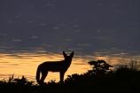 Africa;animal;animals;black-backed-jackal;black-backed-jackals;black_backed-jackal;black_backed-jackals;Canidae;Canis-mesomelas;Carnivora;carnivore;carnivores;dusk;Etosha-N.P.;Etosha-National-Park;Etosha-NP;evening;game-park;game-parks;game-reserve;game-reserves;jackal;jackals;mammal;mammals;Namibia;national-park;national-parks;night;night_time;nightfall;Okaukuejo;Okaukuejo-waterhole;predator;predators;red-jackal;scavenger;scavengers;silhouette;silhouettes;silver_backed;Southern-Africa;sunset;sunsets;twilight;waterhole;waterholes;wildlife;wildlife-park;wildlife-parks;wildlife-reserve;wildlife-reserves