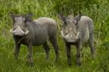 Africa;animal;animals;Common-Warthog;Common-Warthogs;Etosha-N.P.;Etosha-National-Park;Etosha-NP;game-park;game-parks;game-reserve;game-reserves;mammal;mammals;Namibia;national-park;national-parks;Phacochoerus-africanus;Phacochoerus-africanus-sundevallii;Southern-Africa;Southern-Warthog;Warthog;Warthogs;wildlife;wildlife-park;wildlife-parks;wildlife-reserve;wildlife-reserves