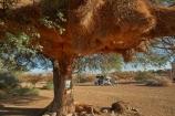 karas;karas-region;4wd;4wd-camper;4wds;4wds;4x4;4x4-camper;4x4s;4x4s;Acacia-tree;Acacia-trees;africa;african;aloe;Aloe-dichotoma;aloes;Animal;animals;avian;bark;big-large;bird;bird-nest;bird-nests;bird-spotting;bird-watching;bird_watching;birds;birds-nest;birds-nests;botany;Bushlore;Bushlore-4x4;Bushlore-4x4-camper;Camp;Camp-Ground;Camp-Grounds;Camp-Site;Camp-Sites;camper;campers;campground;campgrounds;Camping;Camping-Area;Camping-Areas;Camping-Ground;Camping-Grounds;Camping-Site;Camping-Sites;Caravan-Park;Caravan-Parks;colonies;colony;communities;community;desert;desert-plant;desert-plants;deserts;double-cab-hilux;dry;eco-tourism;eco_tourism;ecotourism;Fauna;flock;four-by-four;four-by-fours;four-wheel-drive;four-wheel-drives;giant-nest;group;Hilux;hilux-camper;Hiluxes;Holiday;Holiday-Park;Holiday-Parks;holidays;home;huge;huge-nest;Keetmanshoop;Kokerboom-Tree;Kokerboom-Trees;large-nest;Mesosaurus-Camp;Mesosaurus-Fossil-Camp;nambia;Namib-Desert;Namibia;namibian;Natural;Nature;nest;nests;Ornithology;plant;plants;Quiver-Tree;Quiver-Trees;quivers;roof-tent;roof-tents;sociable;sociable-weaver;Sociable-Weavers;Sociable-Weavers-Nest;social;Social-Weavers;Social-Weavers-Nest;socialble-weavers;Southern-Africa;Southern-Namiba;southern-Namibia;sports-utility-vehicle;sports-utility-vehicles;suv;suvs;torusim;Toyota;toyota-camper;Toyota-Hilux;Toyota-Hiluxes;Toyotas;travel;tree;trees;twin-cab-hilux;vacation;vacations;vegetation;vehicle;vehicles;weaver;weavers;weavers-nest;wild;wildlife
