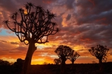 karas;karas-region;africa;african;aloe;Aloe-dichotoma;aloes;bark;botany;cloud;clouds;desert;desert-plant;desert-plants;dusk;evening;forest;forests;Keetmanshoop;kokerboom-forest;Kokerboom-Tree;Kokerboom-Trees;Mesosaurus-Camp;Mesosaurus-Fossil-Camp;nambia;Namib-Desert;Namibia;namibian;nature;night;night_time;nightfall;plant;plants;Quiver-Tree;quiver-tree-forest;Quiver-Trees;quivers;quivertree-forest;Southern-Africa;Southern-Namiba;southern-Namibia;sunset;sunsets;tree;trees;twilight;unusual;vegetation;Aloidendron-dichotomum