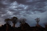 karas;karas-region;africa;african;aloe;Aloe-dichotoma;aloes;approaching-storm;approaching-storms;bark;black-cloud;black-clouds;botany;cloud;clouds;cloudy;dark-cloud;dark-clouds;desert;desert-plant;desert-plants;forest;forests;gray-cloud;gray-clouds;grey-cloud;grey-clouds;Keetmanshoop;kokerboom-forest;Kokerboom-Tree;Kokerboom-Trees;Mesosaurus-Camp;Mesosaurus-Fossil-Camp;nambia;Namib-Desert;Namibia;namibian;nature;plant;plants;Quiver-Tree;quiver-tree-forest;Quiver-Trees;quivers;quivertree-forest;rain-cloud;rain-clouds;rain-storm;rain-storms;rainy-season;silhouette;silhouettes;Southern-Africa;Southern-Namiba;southern-Namibia;storm;storm-cloud;storm-clouds;storms;thunder-storm;thunder-storms;thunderstorm;thunderstorms;tree;trees;unusual;vegetation;weather;wet-season;Aloidendron-dichotomum