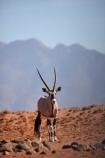 Africa;african;Animal;Animals;Antelope;Antelopes;arid;desert;deserts;dry;expanse;Gemsbok;gemsboks;hot;Mammal;Mammals;Namib-Desert;Namib-Rand;Namib-Rand-Nature-Reserve;Namibia;NamibRand;NamibRand-Nature-Reserve;NamibRand-Reserve;natural;Nature;NRNR;orange-sand;Oryx;oryx-gazella;oryxes;oryxs;remote;remoteness;reserve;reserves;safari;safaris;sand;sandy;Southern-Africa;Southern-Namibia;Wild;wilderness;Wildlife