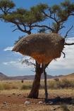 707-road;africa;african;animal;big-large;big-nest;big-nests;bird-birds;bird-nest;bird-nests;birds-nest;birds-nests;colonies;colony;communities;community;D707-road;flock;giant-nest;giant-nests;group;home;huge;huge-nest;huge-nests;nambia;Namib-Desert;Namibia;namibian;nest;nests;Philetairus-socius;sociable;Sociable-Weaver;Sociable-Weaver-Nest;Sociable-Weavers;Sociable-Weavers-Nest;social;Social-Weaver;social-weaver-nest;Social-Weavers;Social-Weavers-Nest;Southern-Africa;tree;trees;weaver;weavers;wildlife