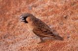 Africa;animal;bird-birds;desert;deserts;dune;Namib-Desert;Namib-Naukluft-N.P.;Namib-Naukluft-National-Park;Namib-Naukluft-NP;Namib_Naukluft-N.P.;Namib_Naukluft-National-Park;Namib_Naukluft-NP;Namibia;national-park;national-parks;orange-sand;Philetairus-socius;reserve;reserves;sand;sandy;Sociable-Weaver;Sociable-Weavers;Social-Weaver;Social-Weavers;Southern-Africa;wildlife