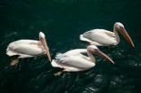 Africa;animal;animals;Atlantic-Coast;Atlantic-Ocean;avian;bird;bird-watching;birds;Eastern-White-Pelican;eco-tourism;eco_tourism;ecotourism;Fauna;Great-White-Pelican;Mola-Mola;Mola-Mola-Boat-Tours;Mola-Mola-Safaris;Mola-Mola-Tours;Namibia;Natural;Nature;Ornithology;Pelecanus-onocrotalus;Rosy-Pelican;Skeleton-Coast;Southern-Africa;Walfischbai;Walfischbucht;Walvis-Bay;Walvis-Bay-Harbour;Walvisbaai;White-Pelican;wildlife