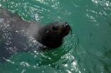 Africa;animal;animals;Arctocephalus-pusillus;Atlantic-Coast;Atlantic-Ocean;boat-cruise;boat-cruises;brown-fur-seal;Cape-Fur-Seal;fur-seal;fur-seals;mammal;mammals;Mola-Mola;Mola-Mola-Boat-Tours;Mola-Mola-Safaris;Mola-Mola-Tours;Namibia;seal;seals;Skeleton-Coast;South-African-fur-seal;Southern-Africa;Walfischbai;Walfischbucht;Walvis-Bay;Walvis-Bay-Harbour;Walvisbaai;wildlife