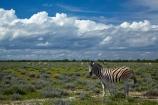 Africa;animal;animals;Burchells-zebra;cloud;clouds;cloudy;Equus-quagga;Equus-quagga-burchellii;Etosha-N.P.;Etosha-National-Park;Etosha-NP;game-park;game-parks;game-reserve;game-reserves;mammal;mammals;Namibia;national-park;national-parks;Plains-zebra;skies;sky;Southern-Africa;Steppenzebra;wildlife;wildlife-park;wildlife-parks;wildlife-reserve;wildlife-reserves;Zebra;zerbras
