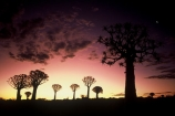 Kokerboom-Tree;Kokerboom-Trees;Quiver-Tree;Quiver-Trees;Keetmanshoop;southern-Namibia;Africa;African;bark;quivers;trees;africa;forest;forests;last-light;plant;plants;vegetation;nature;botany;sunset;sunsets;sky;dusk;twilight;tree