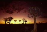 Kokerboom;Quiver;tree;trees;keetmanshoop;Namibia;aloe-dichotoma;bark;quivers;africa;african;forest;forests;plant;plants;vegetation;nature;botany;sky;sunset;sunsets;last-light;dusk;twilight;silhouette;silhouettes
