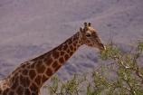 Africa;African;African-plain;African-plains;Angolan-giraffe;animal;animals;desert;deserts;game-drive;game-viewing;Giraffa-camelopardalis;Giraffa-camelopardalis-angolensis;giraffe;giraffes;herd;herds;mammal;mammals;Namib-Desert;Namibia;natural;nature;plain;plains;safari;safaris;Southern-Africa;tall;wild;wilderness;wildlife