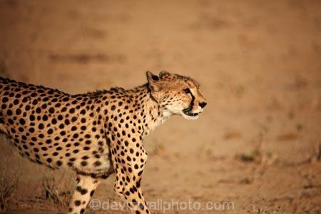Acinonyx-jubatus;Africa;animal;animals;Botswana;carnivore;carnivores;cat;cats;Cheetah;Cheetahs;desert;deserts;feline;game-drive;game-viewing;Gemsbok-National-Park;hunter;hunters;Kalahari-Desert;Kalahari-Gemsbok-N.P.;Kalahari-Gemsbok-National-Park;Kalahari-Gemsbok-NP;Kgalagadi;Kgalagadi-Park;Kgalagadi-Transfrontier-Park;mammal;mammals;national-park;national-parks;natural;nature;park;parks;predator;predators;Republic-of-South-Africa;reserve;reserves;safari;safaris;South-Africa;South-African-Republic;Southern-Africa;spot;spots;spotted;wild;wilderness;wildlife