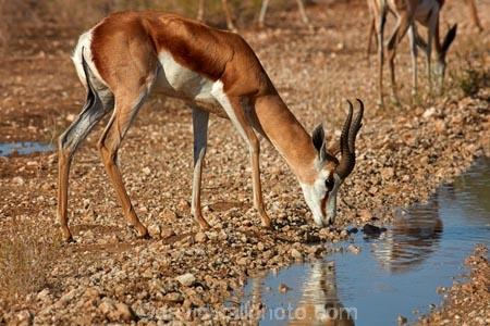 Africa;animal;animals;antelope;antelopes;Antidorcas-marsupialis;Botswana;desert;deserts;drink;drinking;game-park;game-parks;game-reserve;game-reserves;Gemsbok-National-Park;Kalahari-Desert;Kalahari-Gemsbok-N.P.;Kalahari-Gemsbok-National-Park;Kalahari-Gemsbok-NP;Kgalagadi;Kgalagadi-Park;Kgalagadi-Transfrontier-Park;mammal;mammals;national-park;national-parks;park;parks;puddle;puddles;reflection;reflections;Republic-of-South-Africa;safari;safaris;South-Africa;South-African-Republic;Southern-Africa;springbok;springboks;springbuck;wilderness;wildlife;wildlife-park;wildlife-parks;wildlife-reserve;wildlife-reserves