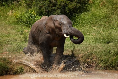 Africa;African;African-animals;African-bush-elephant;African-bush-elephants;African-elephant;African-elephants;African-wildlife;agression;agressive;animal;animals;elephant;elephants;game-drive;game-park;game-parks;game-reserve;game-reserves;game-viewing;Great-Limpopo-Transfrontier-Park;Kruger;Kruger-N.P.;Kruger-National-Park;Kruger-NP;Kruger-reserve;Kruger-to-Canyons-Biosphere;Loxodonta-africana;mammal;mammals;muddy;national-park;national-parks;natural;nature;pachyderm;pachyderms;pond;ponds;Republic-of-South-Africa;reserve;reserves;safari;safaris;South-Africa;South-African-Republic;Southern-Africa;splash;splashing;trunk;trunks;tusk;tusks;water;water-hole;water-holes;waterhole;waterholes;wild;wilderness;wildlife;wildlife-park;wildlife-parks;wildlife-reserve;wildlife-reserves