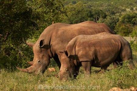 Africa;African;African-animals;African-wildlife;animal;animals;calf;calfs;calves;Ceratotherium-simum;Ceratotherium-simum-simum;cow;cows;endangered;endangered-species;endangered-wildlife;game-drive;game-park;game-parks;game-reserve;game-reserves;game-viewing;Great-Limpopo-Transfrontier-Park;horn;horns;Kruger;Kruger-N.P.;Kruger-National-Park;Kruger-NP;Kruger-reserve;Kruger-to-Canyons-Biosphere;mammal;mammals;national-park;national-parks;natural;nature;Republic-of-South-Africa;reserve;reserves;rhino;rhino-horn;rhinoceros;rhinoceroses;rhinos;safari;safaris;South-Africa;South-African-Republic;Southern-Africa;southern-square_lipped-rhinoceros;southern-square_lipped-rhinoceroses;southern-white-rhinoceros;southern-white-rhinoceroses;square_lipped-rhinoceros;square_lipped-rhinoceroses;threatened;threatened-species;threatened-wildlife;white-rhino;white-rhinoceros;white-rhinos;wild;wilderness;wildlife;wildlife-park;wildlife-parks;wildlife-reserve;wildlife-reserves