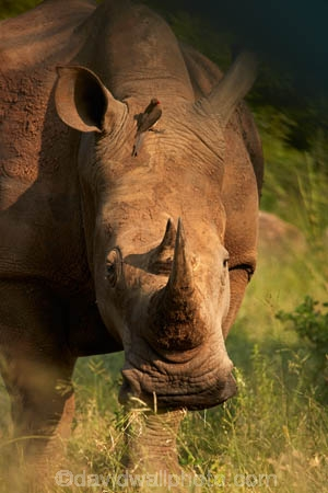 Africa;African;African-animals;African-wildlife;animal;animals;bird;birds;Buphagus-erythrorhynchus;Ceratotherium-simum;Ceratotherium-simum-simum;endangered;endangered-species;endangered-wildlife;game-drive;game-park;game-parks;game-reserve;game-reserves;game-viewing;Great-Limpopo-Transfrontier-Park;horn;horns;Kruger;Kruger-N.P.;Kruger-National-Park;Kruger-NP;Kruger-reserve;Kruger-to-Canyons-Biosphere;mammal;mammals;national-park;national-parks;natural;nature;oxpecker;oxpeckers;red-billed-oxpecker;red-billed-oxpeckers;Red_billed-Oxpecker;red_billed-oxpeckers;redbilled-oxpecker;redbilled-oxpeckers;Republic-of-South-Africa;reserve;reserves;rhino;rhino-horn;rhinoceros;rhinoceroses;rhinos;safari;safaris;South-Africa;South-African-Republic;Southern-Africa;southern-square_lipped-rhinoceros;southern-square_lipped-rhinoceroses;southern-white-rhinoceros;southern-white-rhinoceroses;square_lipped-rhinoceros;square_lipped-rhinoceroses;symbiosis;symbiotic;symbiotic-relationship;threatened;threatened-species;threatened-wildlife;white-rhino;white-rhinoceros;white-rhinos;wild;wilderness;wildlife;wildlife-park;wildlife-parks;wildlife-reserve;wildlife-reserves