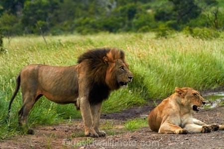 Africa;African-animals;African-wildlife;animal;animals;carnivore;carnivores;cat;cats;couple;couples;danger;dangerous;feline;female;female-lion;female-lions;females;game-drive;game-park;game-parks;game-reserve;game-reserves;game-viewing;Great-Limpopo-Transfrontier-Park;hunter;hunters;Kruger;Kruger-N.P.;Kruger-National-Park;Kruger-NP;Kruger-reserve;Kruger-to-Canyons-Biosphere;Lion;lion-mane;lioness;lionesses;lions;male;male-lion;male-lions;mammal;mammals;mane;national-park;national-parks;natural;nature;pair;pairs;Panthera-leo;predator;predators;Republic-of-South-Africa;reserve;reserves;South-Africa;South-African-Republic;Southern-Africa;wild;wilderness;wildlife;wildlife-park;wildlife-parks;wildlife-reserve;wildlife-reserves