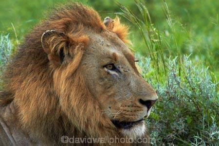 Africa;African-animals;African-wildlife;animal;animals;carnivore;carnivores;cat;cats;danger;dangerous;face;faces;feline;game-drive;game-park;game-parks;game-reserve;game-reserves;game-viewing;Great-Limpopo-Transfrontier-Park;hunter;hunters;Kruger;Kruger-N.P.;Kruger-National-Park;Kruger-NP;Kruger-reserve;Kruger-to-Canyons-Biosphere;Lion;lion-close-up;lion-close_up;lion-closeup;lion-face;lion-mane;lionesses;lions;male;male-lion;male-lions;males;mammal;mammals;mane;national-park;national-parks;natural;nature;Panthera-leo;predator;predators;Republic-of-South-Africa;reserve;reserves;South-Africa;South-African-Republic;Southern-Africa;wild;wilderness;wildlife;wildlife-park;wildlife-parks;wildlife-reserve;wildlife-reserves