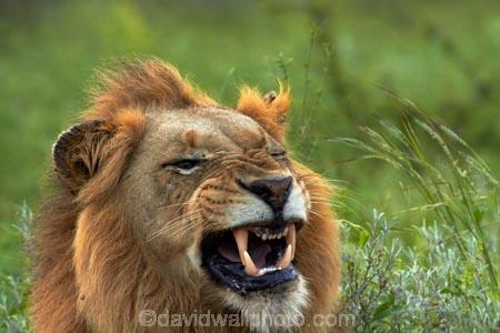 Africa;African-animals;African-wildlife;angry;animal;animals;carnivore;carnivores;cat;cats;danger;dangerous;face;faces;feline;game-drive;game-park;game-parks;game-reserve;game-reserves;game-viewing;Great-Limpopo-Transfrontier-Park;hunter;hunters;Kruger;Kruger-N.P.;Kruger-National-Park;Kruger-NP;Kruger-reserve;Kruger-to-Canyons-Biosphere;Lion;lion-close-up;lion-close_up;lion-closeup;lion-face;lion-mane;lion-roar;lion-roaring;lionesses;lions;lions-roaring;male;male-lion;male-lions;males;mammal;mammals;mane;mouth;mouth-open;mouths;national-park;national-parks;natural;nature;open-mouth;Panthera-leo;predator;predators;Republic-of-South-Africa;reserve;reserves;roar;roaring;South-Africa;South-African-Republic;Southern-Africa;teeth;tooth;wild;wilderness;wildlife;wildlife-park;wildlife-parks;wildlife-reserve;wildlife-reserves;yawn;yawning