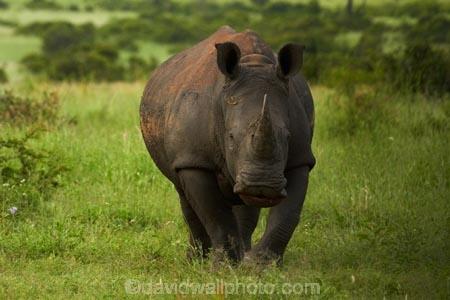 Africa;African;African-animals;African-wildlife;animal;animals;Ceratotherium-simum;Ceratotherium-simum-simum;endangered-wildlife;game-park;game-parks;game-reserve;game-reserves;Great-Limpopo-Transfrontier-Park;Kruger;Kruger-N.P.;Kruger-National-Park;Kruger-NP;Kruger-reserve;Kruger-to-Canyons-Biosphere;mammal;mammals;national-park;national-parks;Republic-of-South-Africa;rhino;rhinoceros;rhinoceroses;rhinocerotes;rhinos;South-Africa;South-African-Republic;Southern-Africa;southern-square_lipped-rhinoceros;southern-square_lipped-rhinoceroses;southern-white-rhinoceros;southern-white-rhinoceroses;square_lipped-rhinoceros;square_lipped-rhinoceroses;threatened-wildlife;white-rhino;white-rhinoceros;white-rhinos;wildlife;wildlife-park;wildlife-parks;wildlife-reserve;wildlife-reserves
