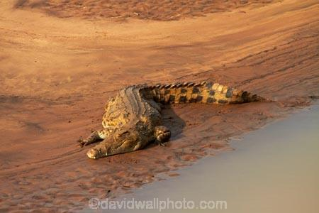 Africa;croc;crocodile;crocodiles;Crocodylus-niloticus;crocs;game-drive;game-park;game-parks;game-reserve;game-reserves;game-viewing;Great-Limpopo-Transfrontier-Park;Kruger;Kruger-N.P.;Kruger-National-Park;Kruger-NP;Kruger-reserve;Kruger-to-Canyons-Biosphere;Letaba-River;national-park;national-parks;natural;nature;Nile-crocodile;Nile-crocodiles;reptile;reptiles;Republic-of-South-Africa;reserve;reserves;river;rivers;South-Africa;South-African-Republic;Southern-Africa;wild;wilderness;wildlife;wildlife-park;wildlife-parks;wildlife-reserve;wildlife-reserves