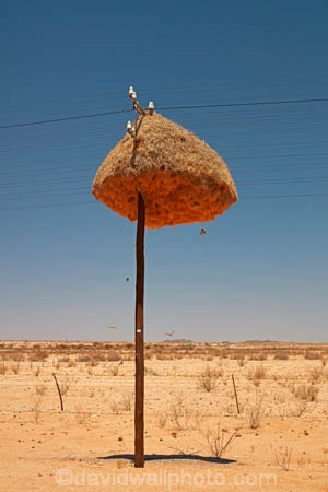 africa;african;animal;big-large;bird-birds;bird-nest;bird-nests;birds-nest;birds-nests;colonies;colony;communities;community;giant-nest;group;home;huge;huge-nest;line;lines;nest;nests;Northern-Cape-Province;Philetairus-socius;pole;poles;post;posts;power-line;power-lines;power-pole;power-poles;Republic-of-South-Africa;sociable;Sociable-Weaver;Sociable-Weaver-Nest;Sociable-Weavers;Sociable-Weavers-Nest;social;Social-Weaver;social-weaver-nest;Social-Weavers;Social-Weavers-Nest;South-Africa;South-African-Republic;Southern-Africa;Southern-Namiba;telegraph-line;telegraph-lines;telegraph-pole;telegraph-poles;tree;trees;weaver;weavers;wildlife;wire;wires