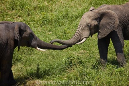 Africa;African;African-animals;African-bush-elephant;African-bush-elephants;African-elephant;African-elephants;African-wildlife;animal;animals;elephant;elephants;game-drive;game-park;game-parks;game-reserve;game-reserves;game-viewing;Great-Limpopo-Transfrontier-Park;Kruger;Kruger-N.P.;Kruger-National-Park;Kruger-NP;Kruger-reserve;Kruger-to-Canyons-Biosphere;Loxodonta-africana;mammal;mammals;national-park;national-parks;natural;nature;pachyderm;pachyderms;Republic-of-South-Africa;reserve;reserves;safari;safaris;sense;sensing;smell;smelling;sniff;sniffing;South-Africa;South-African-Republic;Southern-Africa;touch;touching;trunk;trunks;tusk;tusks;wild;wilderness;wildlife;wildlife-park;wildlife-parks;wildlife-reserve;wildlife-reserves;Berg_en_Dal;Berg-en-Dal