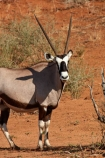 Africa;african;Animal;Animals;Antelope;Antelopes;arid;Botswana;desert;deserts;Gemsbok;Gemsbok-National-Park;gemsboks;horns;Kalahari-Desert;Kalahari-Gemsbok-N.P.;Kalahari-Gemsbok-National-Park;Kalahari-Gemsbok-NP;Kgalagadi;Kgalagadi-Park;Kgalagadi-Transfrontier-Park;Mammal;Mammals;national-park;national-parks;natural;Nature;Oryx;Oryx-gazella;oryxes;oryxs;park;parks;remote;remoteness;Republic-of-South-Africa;reserve;reserves;safari;safaris;South-Africa;South-African-Republic;Southern-Africa;Wild;wilderness;Wildlife