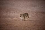 Africa;African;animal;animals;Botswana;carnivore;carnivores;cat;cats;desert;deserts;feline;game-park;game-parks;game-reserve;game-reserves;Gemsbok-National-Park;hunter;hunters;Kalahari-Desert;Kalahari-Gemsbok-N.P.;Kalahari-Gemsbok-National-Park;Kalahari-Gemsbok-NP;Kalahari-Tented-Camp;Kgalagadi;Kgalagadi-Park;Kgalagadi-Transfrontier-Park;lion;lioness;lionesses;lions;mammal;mammals;national-park;national-parks;Panthera-leo;park;parks;predator;predators;Republic-of-South-Africa;safari;safaris;South-Africa;South-African-Republic;Southern-Africa;wilderness;wildlife;wildlife-park;wildlife-parks;wildlife-reserve;wildlife-reserves