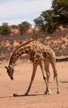 Africa;African;African-wildlife;Angolan-giraffe;animal;animals;Botswana;desert;deserts;game-drive;game-viewing;Gemsbok-National-Park;Giraffa-camelopardalis;Giraffa-camelopardalis-angolensis;giraffe;giraffes;herd;herds;Kalahari-Desert;Kalahari-Gemsbok-N.P.;Kalahari-Gemsbok-National-Park;Kalahari-Gemsbok-NP;Kgalagadi;Kgalagadi-Park;Kgalagadi-Transfrontier-Park;mammal;mammals;national-park;national-parks;natural;nature;park;parks;Republic-of-South-Africa;reserve;reserves;safari;safaris;South-Africa;South-African-Republic;Southern-Africa;tall;tortoise;tortoises;upturned;upturned-tortoise;wild;wilderness;wildlife