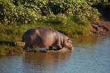 Africa;African-animals;African-wildlife;animal;animals;game-drive;game-park;game-parks;game-reserve;game-reserves;game-viewing;Great-Limpopo-Transfrontier-Park;hippo;hippopotami;hippopotamus;Hippopotamus-amphibius;hippopotamuses;hippos;Kruger;Kruger-N.P.;Kruger-National-Park;Kruger-NP;Kruger-reserve;Kruger-to-Canyons-Biosphere;Letaba-River;mammal;mammals;national-park;national-parks;natural;nature;Republic-of-South-Africa;reserve;reserves;river;rivers;safari;safaris;South-Africa;South-African-Republic;Southern-Africa;wild;wilderness;wildlife;wildlife-park;wildlife-parks;wildlife-reserve;wildlife-reserves