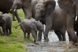 Africa;African;African-animals;African-bush-elephant;African-bush-elephants;African-elephant;African-elephants;African-wildlife;animal;animals;babies;baby;calf;calfs;calves;elephant;elephants;families;family;game-drive;game-park;game-parks;game-reserve;game-reserves;game-viewing;Great-Limpopo-Transfrontier-Park;herd;herds;Kruger;Kruger-N.P.;Kruger-National-Park;Kruger-NP;Kruger-reserve;Kruger-to-Canyons-Biosphere;Loxodonta-africana;mammal;mammals;muddy;national-park;national-parks;natural;nature;pachyderm;pachyderms;pond;ponds;Republic-of-South-Africa;reserve;reserves;safari;safaris;South-Africa;South-African-Republic;Southern-Africa;tusk;tusks;water;water-hole;water-holes;waterhole;waterholes;wild;wilderness;wildlife;wildlife-park;wildlife-parks;wildlife-reserve;wildlife-reserves
