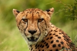Acinonyx-jubatus;Africa;African;African-animals;African-wildlife;animal;animals;carnivore;carnivores;cat;cats;Cheetah;Cheetahs;fast;feline;game-drive;game-park;game-parks;game-reserve;game-reserves;game-viewing;Great-Limpopo-Transfrontier-Park;hunter;hunters;Kruger;Kruger-N.P.;Kruger-National-Park;Kruger-NP;Kruger-reserve;Kruger-to-Canyons-Biosphere;mammal;mammals;national-park;national-parks;natural;nature;predator;predators;Republic-of-South-Africa;reserve;reserves;safari;safaris;South-Africa;South-African-Republic;Southern-Africa;spot;spots;spotted;wild;wilderness;wildlife;wildlife-park;wildlife-parks;wildlife-reserve;wildlife-reserves