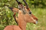 Aepyceros-melampus;Aepyceros-melampus-melampus;Africa;African;African-animals;african-wildlife;animal;animals;antelope;antelopes;bird;birds;Buphagus-erythrorhynchus;game-drive;game-park;game-parks;game-reserve;game-reserves;game-viewing;Great-Limpopo-Transfrontier-Park;impala;impalas;Kruger;Kruger-N.P.;Kruger-National-Park;Kruger-NP;Kruger-reserve;Kruger-to-Canyons-Biosphere;male;male-impala;male-impalas;males;mammal;mammals;national-park;national-parks;natural;nature;oxpecker;oxpeckers;red-billed-oxpecker;red-billed-oxpeckers;red_billed-oxpecker;red_billed-oxpeckers;redbilled-oxpecker;redbilled-oxpeckers;Republic-of-South-Africa;reserve;reserves;safari;safaris;South-Africa;South-African-Republic;Southern-Africa;symbiosis;symbiotic;symbiotic-relationship;wild;wilderness;wildlife;wildlife-park;wildlife-parks;wildlife-reserve;wildlife-reserves