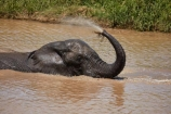 Africa;African;African-animals;African-bush-elephant;African-bush-elephants;African-elephant;African-elephants;African-wildlife;animal;animals;bath;bathing;elephant;elephants;game-drive;game-park;game-parks;game-reserve;game-reserves;game-viewing;Great-Limpopo-Transfrontier-Park;hose;Kruger;Kruger-N.P.;Kruger-National-Park;Kruger-NP;Kruger-reserve;Kruger-to-Canyons-Biosphere;Loxodonta-africana;mammal;mammals;muddy;national-park;national-parks;natural;nature;pachyderm;pachyderms;pond;ponds;Republic-of-South-Africa;reserve;reserves;safari;safaris;South-Africa;South-African-Republic;Southern-Africa;spray;spraying;trunk;trunks;tusk;tusks;water;water-hole;water-holes;waterhole;waterholes;wild;wilderness;wildlife;wildlife-park;wildlife-parks;wildlife-reserve;wildlife-reserves