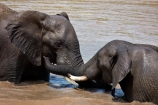Africa;African;African-animals;African-bush-elephant;African-bush-elephants;African-elephant;African-elephants;African-wildlife;agression;agressive;animal;animals;elephant;elephants;fight;fighting;game-drive;game-park;game-parks;game-reserve;game-reserves;game-viewing;Great-Limpopo-Transfrontier-Park;Kruger;Kruger-N.P.;Kruger-National-Park;Kruger-NP;Kruger-reserve;Kruger-to-Canyons-Biosphere;Loxodonta-africana;mammal;mammals;muddy;national-park;national-parks;natural;nature;pachyderm;pachyderms;pond;ponds;Republic-of-South-Africa;reserve;reserves;safari;safaris;South-Africa;South-African-Republic;Southern-Africa;trunk;trunks;tusk;tusks;water;water-hole;water-holes;waterhole;waterholes;wild;wilderness;wildlife;wildlife-park;wildlife-parks;wildlife-reserve;wildlife-reserves