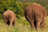 Africa;African;African-animals;African-wildlife;animal;animals;calf;calfs;calves;Ceratotherium-simum;Ceratotherium-simum-simum;cow;cows;endangered;endangered-species;endangered-wildlife;game-drive;game-park;game-parks;game-reserve;game-reserves;game-viewing;Great-Limpopo-Transfrontier-Park;Kruger;Kruger-N.P.;Kruger-National-Park;Kruger-NP;Kruger-reserve;Kruger-to-Canyons-Biosphere;mammal;mammals;national-park;national-parks;natural;nature;Republic-of-South-Africa;reserve;reserves;rhino;rhinoceros;rhinoceroses;rhinos;safari;safaris;South-Africa;South-African-Republic;Southern-Africa;southern-square_lipped-rhinoceros;southern-square_lipped-rhinoceroses;southern-white-rhinoceros;southern-white-rhinoceroses;square_lipped-rhinoceros;square_lipped-rhinoceroses;tail;tails;threatened;threatened-species;threatened-wildlife;white-rhino;white-rhinoceros;white-rhinos;wild;wilderness;wildlife;wildlife-park;wildlife-parks;wildlife-reserve;wildlife-reserves