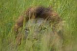 Africa;African-animals;African-wildlife;animal;animals;camouflage;camouflaged;carnivore;carnivores;cat;cats;danger;dangerous;face;faces;feline;game-drive;game-park;game-parks;game-reserve;game-reserves;game-viewing;grass;Great-Limpopo-Transfrontier-Park;hide;hiden;hiding-in-long-grass;hunter;hunters;Kruger;Kruger-N.P.;Kruger-National-Park;Kruger-NP;Kruger-reserve;Kruger-to-Canyons-Biosphere;Lion;lion-close-up;lion-close_up;lion-closeup;lion-face;lion-mane;lionesses;lions;long-grass;male;male-lion;male-lions;males;mammal;mammals;mane;national-park;national-parks;natural;nature;Panthera-leo;predator;predators;Republic-of-South-Africa;reserve;reserves;South-Africa;South-African-Republic;Southern-Africa;wild;wilderness;wildlife;wildlife-park;wildlife-parks;wildlife-reserve;wildlife-reserves