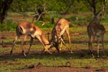 Aepyceros-melampus;Aepyceros-melampus-melampus;Africa;African-animals;African-wildlife;animal;animals;antelope;antelopes;fight;fighting;fights;game-drive;game-park;game-parks;game-reserve;game-reserves;game-viewing;Great-Limpopo-Transfrontier-Park;impala;impalas;Kruger;Kruger-N.P.;Kruger-National-Park;Kruger-NP;Kruger-reserve;Kruger-to-Canyons-Biosphere;male;male-impala;male-impalas;males;mammal;mammals;national-park;national-parks;natural;nature;Republic-of-South-Africa;reserve;reserves;South-Africa;South-African-Republic;Southern-Africa;spar;sparring;wild;wilderness;wildlife;wildlife-park;wildlife-parks;wildlife-reserve;wildlife-reserves