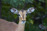 Aepyceros-melampus;Aepyceros-melampus-melampus;Africa;African-animals;African-wildlife;animal;animals;antelope;antelopes;game-drive;game-park;game-parks;game-reserve;game-reserves;game-viewing;Great-Limpopo-Transfrontier-Park;impala;impalas;juvenile;juveniles;Kruger;Kruger-N.P.;Kruger-National-Park;Kruger-NP;Kruger-reserve;Kruger-to-Canyons-Biosphere;male;male-impala;male-impalas;males;mammal;mammals;national-park;national-parks;natural;nature;Republic-of-South-Africa;reserve;reserves;South-Africa;South-African-Republic;Southern-Africa;wild;wilderness;wildlife;wildlife-park;wildlife-parks;wildlife-reserve;wildlife-reserves;young-impala;young-impalas