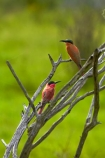 Africa;Animal;animals;avian;Bee-eater;Bee-eaters;Bee_eater;Bee_eaters;bird;bird-spotting;bird-watching;bird_watching;birds;Carmine;Carmine-Bee-eater;Carmine-Bee-eaters;Carmine-Bee_eater;Carmine-Bee_eaters;eco-tourism;eco_tourism;ecotourism;Fauna;game-park;game-parks;game-reserve;game-reserves;Great-Limpopo-Transfrontier-Park;juvenile;juvenile-Carmine-Bee-eater;juvenile-Carmine-Bee-eaters;juvenile-Carmine-Bee_eater;juvenile-Carmine-Bee_eaters;juvenile-southern-Carmine-Bee-eater;juvenile-southern-Carmine-Bee-eaters;juvenile-southern-Carmine-Bee_eater;juvenile-southern-Carmine-Bee_eaters;juveniles;Kruger;Kruger-N.P.;Kruger-National-Park;Kruger-NP;Kruger-reserve;Kruger-to-Canyons-Biosphere;Merops-nubicoides;national-park;national-parks;Natural;Nature;Ornithology;pink;Republic-of-South-Africa;South-Africa;South-African-Republic;Southern-Africa;Southern-Carmine-Bee-eater;Southern-Carmine-Bee-eaters;Southern-Carmine-Bee_eater;Southern-Carmine-Bee_eaters;wild;wildlife;wildlife-park;wildlife-parks;wildlife-reserve;wildlife-reserves