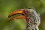 Africa;Animal;animals;avian;bill;bills;bird;bird-spotting;bird-watching;bird_watching;birds;eco-tourism;eco_tourism;ecotourism;Fauna;Flying-Banana;game-park;game-parks;game-reserve;game-reserves;Great-Limpopo-Transfrontier-Park;Hornbill;Hornbills;Kruger;Kruger-N.P.;Kruger-National-Park;Kruger-NP;Kruger-reserve;Kruger-to-Canyons-Biosphere;national-park;national-parks;Natural;Nature;Ornithology;Republic-of-South-Africa;South-Africa;South-African-Republic;Southern-Africa;Southern-Yellow_billed-Hornbill;Southern-Yellow_billed-Hornbills;Tockus-leucomelas;wild;wildlife;wildlife-park;wildlife-parks;wildlife-reserve;wildlife-reserves;Yellow-billed-Hornbill;Yellow-billed-Hornbills;Yellow_billed-Hornbill;Yellow_billed-Hornbills