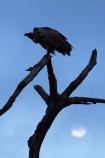 Africa;Animal;animals;avian;bird;bird-spotting;bird-watching;bird_watching;birds;eco-tourism;eco_tourism;ecotourism;Fauna;game-park;game-parks;game-reserve;game-reserves;Great-Limpopo-Transfrontier-Park;Kruger;Kruger-N.P.;Kruger-National-Park;Kruger-NP;Kruger-reserve;Kruger-to-Canyons-Biosphere;moon;moons;national-park;national-parks;Natural;Nature;Ornithology;Republic-of-South-Africa;scavenger;scavengers;silhouette;silhouettes;South-Africa;South-African-Republic;Southern-Africa;vulture;vultures;wild;wildlife;wildlife-park;wildlife-parks;wildlife-reserve;wildlife-reserves