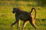 Africa;African-animals;African-wildlife;animal;animals;baboon;baboons;Cape-baboon;Cape-baboons;Chacma-baboon;Chacma-baboons;game-drive;game-park;game-parks;game-reserve;game-reserves;game-viewing;Gray_footed-chacma-baboon;Great-Limpopo-Transfrontier-Park;Kruger;Kruger-N.P.;Kruger-National-Park;Kruger-NP;Kruger-reserve;Kruger-to-Canyons-Biosphere;mammal;mammals;monkey;monkeys;national-park;national-parks;natural;nature;Papio-ursinus;Papio-ursinus-griseipes;primate;primates;Republic-of-South-Africa;reserve;reserves;South-Africa;South-African-Republic;Southern-Africa;wild;wilderness;wildlife;wildlife-park;wildlife-parks;wildlife-reserve;wildlife-reserves