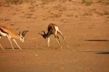 Africa;agression;agressive;animal;animals;antelope;antelopes;Antidorcas-marsupialis;Botswana;desert;deserts;fight;fighting;game-park;game-parks;game-reserve;game-reserves;Gemsbok-National-Park;Kalahari-Desert;Kalahari-Gemsbok-N.P.;Kalahari-Gemsbok-National-Park;Kalahari-Gemsbok-NP;Kgalagadi;Kgalagadi-Park;Kgalagadi-Transfrontier-Park;male;males;mammal;mammals;national-park;national-parks;park;parks;Republic-of-South-Africa;safari;safaris;South-Africa;South-African-Republic;Southern-Africa;springbok;springboks;springbuck;wilderness;wildlife;wildlife-park;wildlife-parks;wildlife-reserve;wildlife-reserves